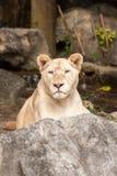 Lion lies down Stock Images