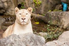Lion lies down Royalty Free Stock Image