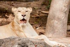 Lion lies down Royalty Free Stock Photo
