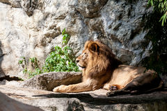 Lion lies down Royalty Free Stock Images