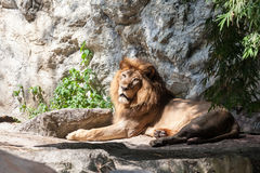 Lion lies down Stock Photos