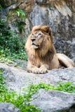 Lion lies down Stock Photo
