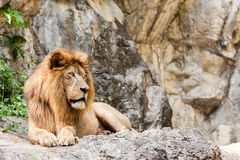Lion lies down Royalty Free Stock Photography