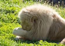 Lion lies on the grass in the wild Stock Image