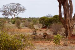 Lion lies in the shade under a tree. In the Tsavo Éast Kenya Stock Photography