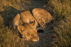 Lion lies sleeping in grass at sunset Stock Image