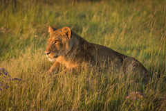 Lion lies staring in grass at dusk Royalty Free Stock Photos