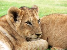 Lion, Lion Cub, Cub, Big Cat Royalty Free Stock Photos