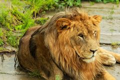 Lion. Laying on the grass Stock Image