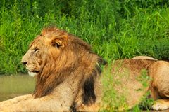 Lion. Laying on the grass Royalty Free Stock Photo