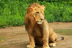 Lion. Laying on the grass Stock Photo