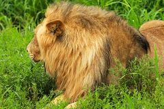 Lion. Laying on the grass Royalty Free Stock Images