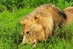 Lion. Laying on the grass Stock Images