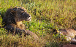 A lion with a lion lying in the grass in a savanna in the park of the taita hills at sunrise Stock Image