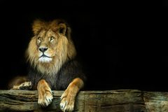 Lion. Lion sitting on a rock Royalty Free Stock Image