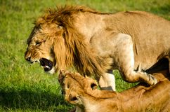 Lion Beside Lioness stock image