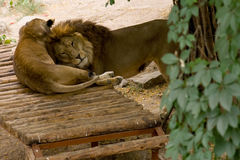 Lion and lioness. Big beautiful lion and lioness in Nikolaev zoo Stock Photos