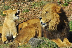 Lion and lioness. A lion sit down protecting his partner Stock Photography