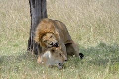 Lion and Lioness. Lion pair mating under a tree Royalty Free Stock Photography