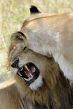 Lion and Lioness. Lion pair mating under a tree Stock Images
