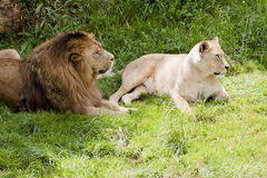 Lion and Lioness Stock Photos