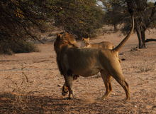 Lion and lioness Royalty Free Stock Photo