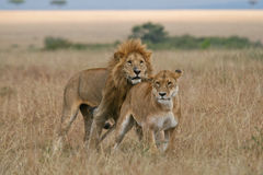 Lion and Lioness. African lion about to mount lioness, Masai Mara, Kenya Stock Image