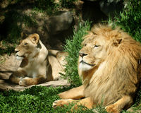 The lion and lioness. Lion and lioness resting in the sun Stock Image