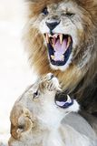 Lion and Lioness Aggression During Mating. Infamous lion named Scar and his lioness mate show aggression while mating in the Mara Triangle in Kenya, Africa Stock Image