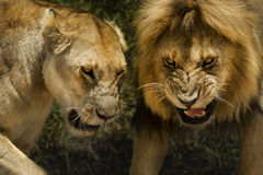Lion and lioness aggressive attack dangerous Royalty Free Stock Image