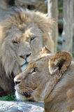 Lion and lioness Royalty Free Stock Images