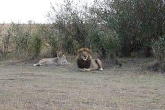 Lion lioness couple in maasai mara Stock Photos