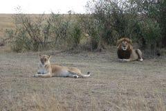 Lion lioness couple in maasai mara Royalty Free Stock Photos