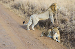Lion and lioness couple in savannah, Africa, Masai Mara national park, Kenya Royalty Free Stock Photo