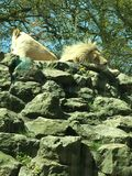 Lion and lioness Royalty Free Stock Photos