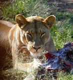 Lion. Ess eating face South Africa looking Stock Image