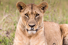 Lion Lioness Deep in thought Royalty Free Stock Photography