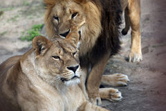 The lion and the lioness Stock Images