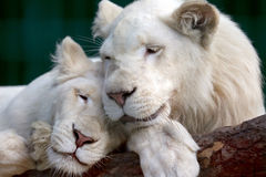 Lion and lioness gently pressed their heads to each other Stock Images
