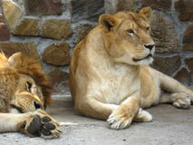 Lion and a lioness have a rest Royalty Free Stock Image