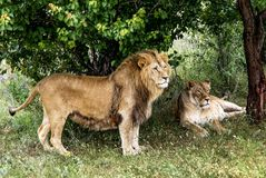 Lion and lioness have a rest under a tree. In a grass in the summer Stock Photos