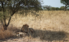 Lion and Lioness. Lion and his lioness resting in the African savannah Royalty Free Stock Image