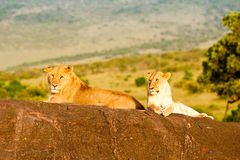 Lion and lioness, Kenya Royalty Free Stock Photos