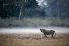 Lion Lioness with kill. In a morning fog a lioness with the caught antelope Stock Photos
