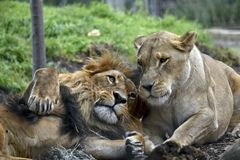 Lion and lioness. The lion and lioness are laying on the grass resting together stock photos