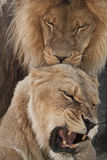 Lion and lioness. Lion licking lioness lioness growls and bares his mouth Stock Photo