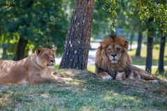 Lion and lioness lie down on the grass. Stock Images