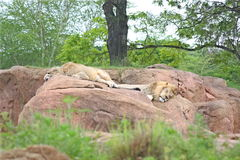 Lion and Lioness. Lions Sunning on the Rocks Stock Photography