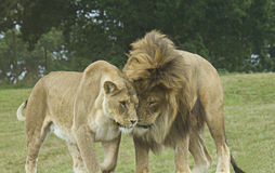 Lion and Lioness in Love Royalty Free Stock Photos