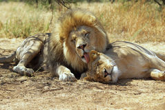 Lion and lioness in loving moment. African lion preening his lioness mate royalty free stock images